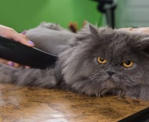 Cat haircut services in englewood cliffs, NJ
